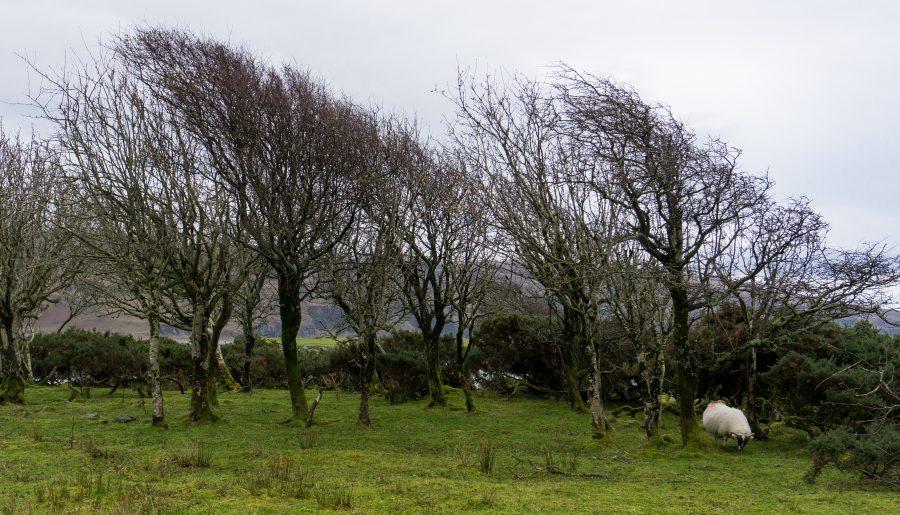 Isola of Mull Lochbuie scozia alberi piegati dal vento