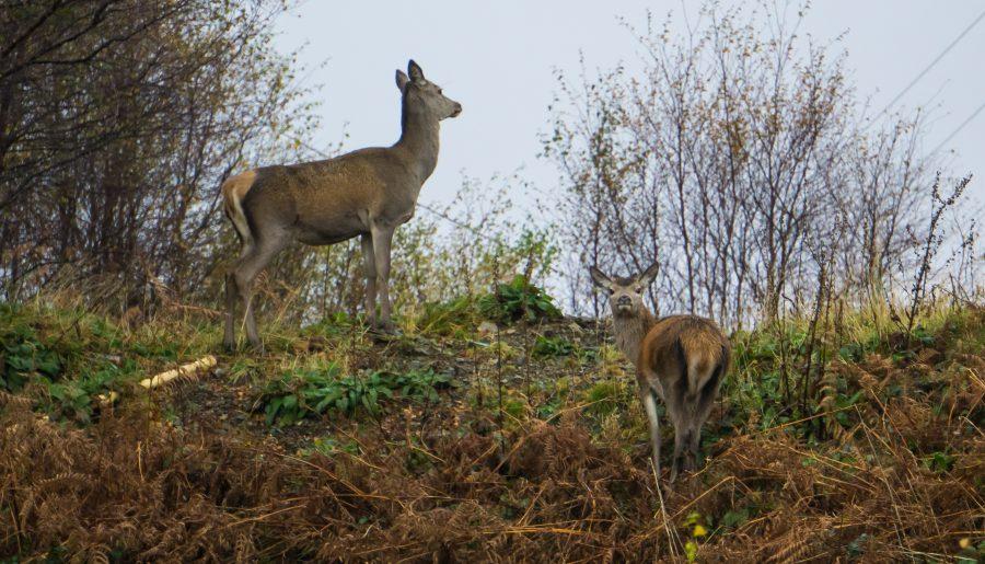 Isle of Mull scozia cervi