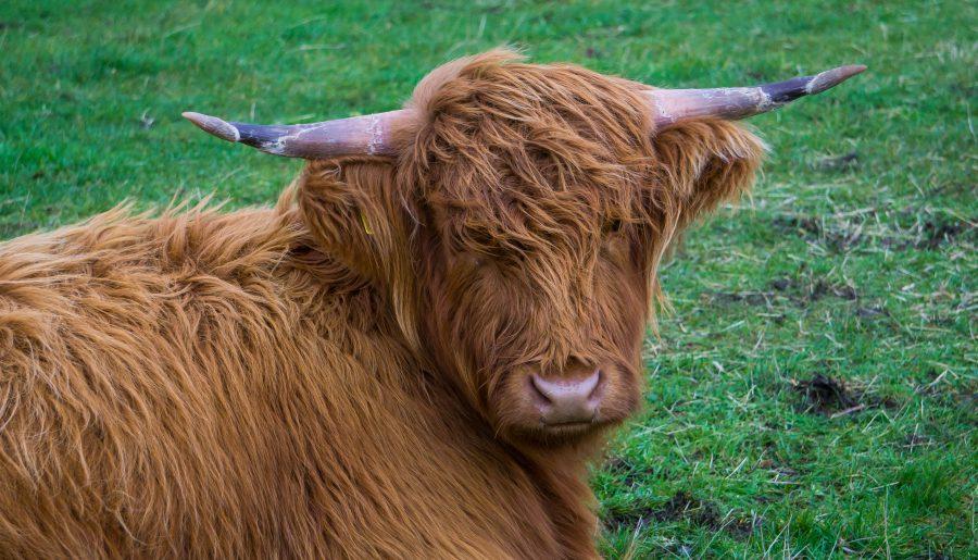 isle of mull highland cow scozia