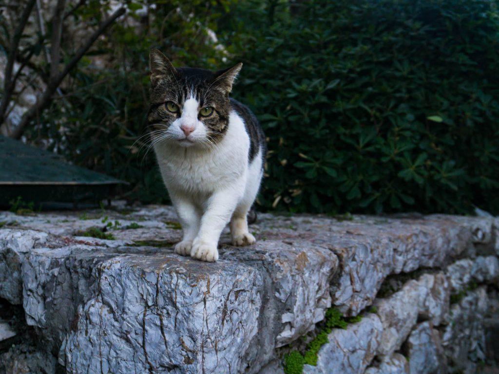 Atene gatto collina licabetto grecia