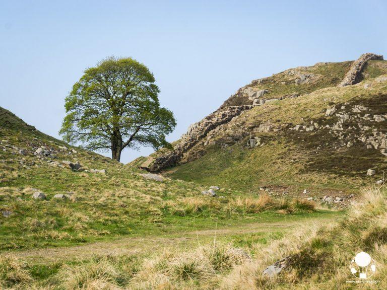 roman wall robin hood tree vallo di adriano muro