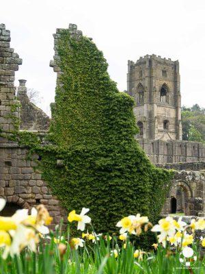 L'abbazia di Fountains è circondata da prati di narcisi bianchi e gialli, mentre l'edera cerca di appropriarsi delle sue mura